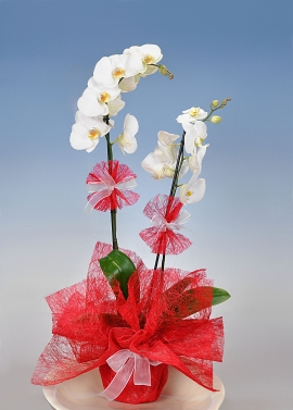 2 Dallı Orkide