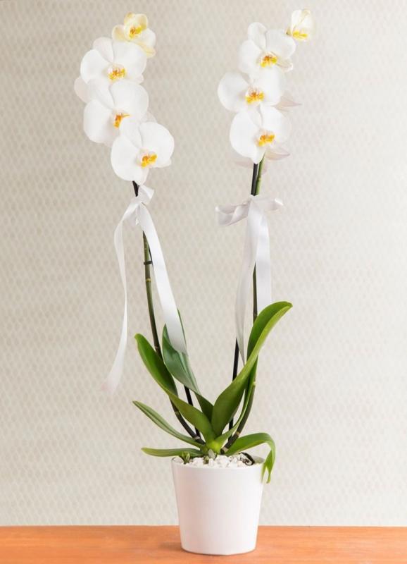 Orkide Phalaenopsis 2 Dallı