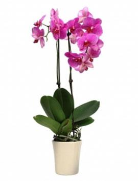 Fuşya Orkide 2 Dallı