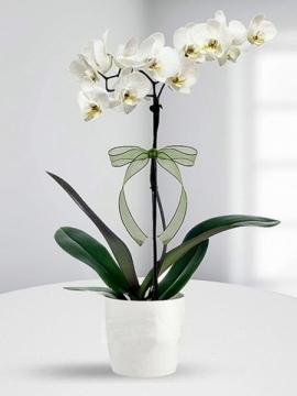 Tek Dal Beyaz Orkide
