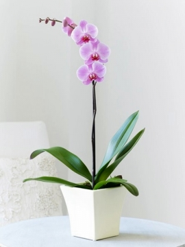 Tek Dal Pembe Orkide