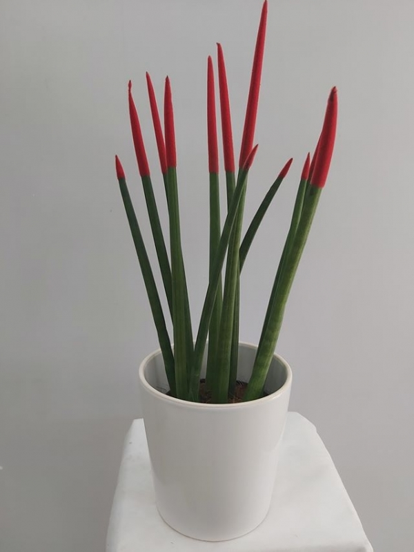 Sansevieria Bitkisi