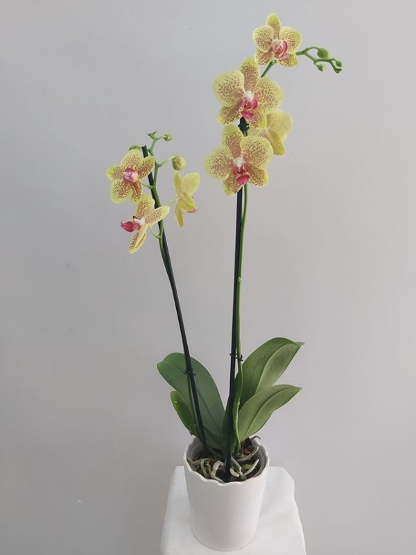 Sarı Orkide