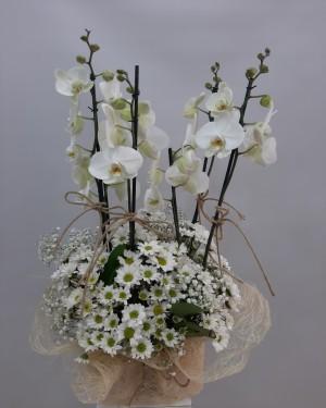 4lü Orkide Papatya Çiçeği