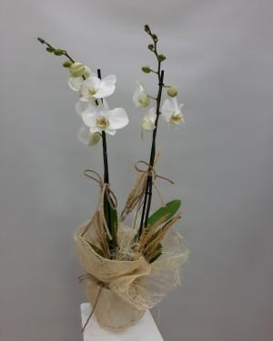 2li Beyaz Orkide Sepeti Çiçekse