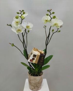Orkide Truffle Çikolata Sepeti