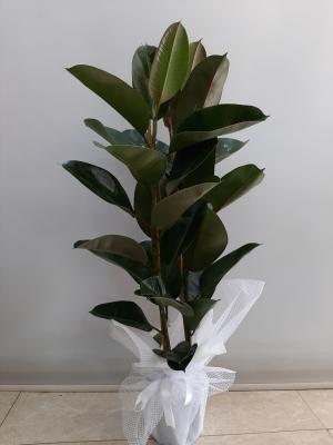 2li Kauçuk Saksı Çiçeği 140 cm